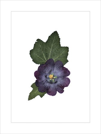 print of Hollyhock ($125 value)